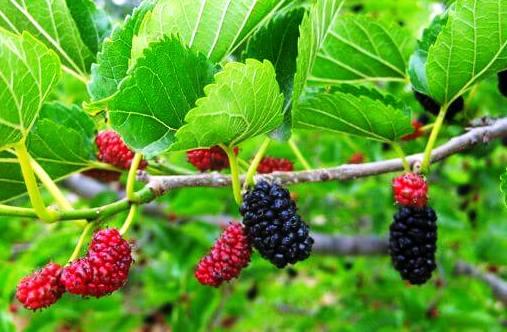 manfaat buah murbei