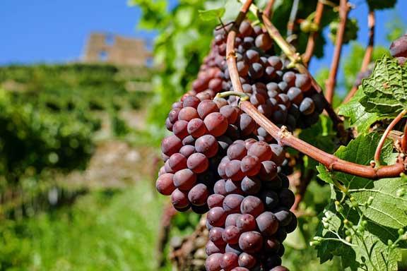 Manfaat buah anggur untuk kesehatan