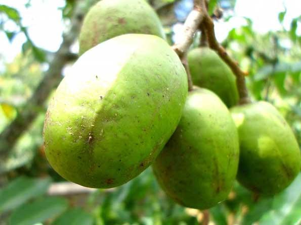 Manfaat buah kedondong untuk kesehatan
