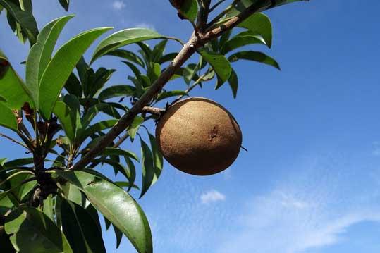 manfaat buah sawo untuk kesehatan
