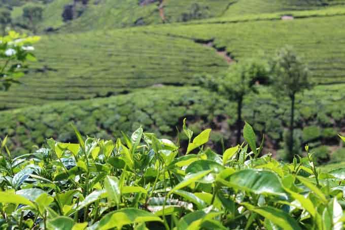 Manfaat Masker Green Tea untuk Kulit Wajah
