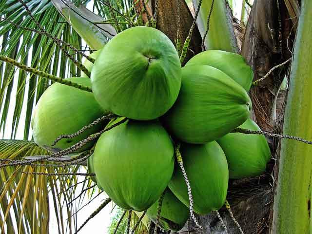 manfaat kelapa muda