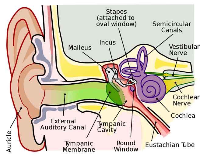 cara kerja telinga