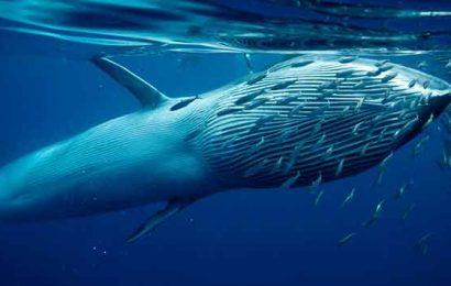 paus Bryde ikan paus terbesar di dunia