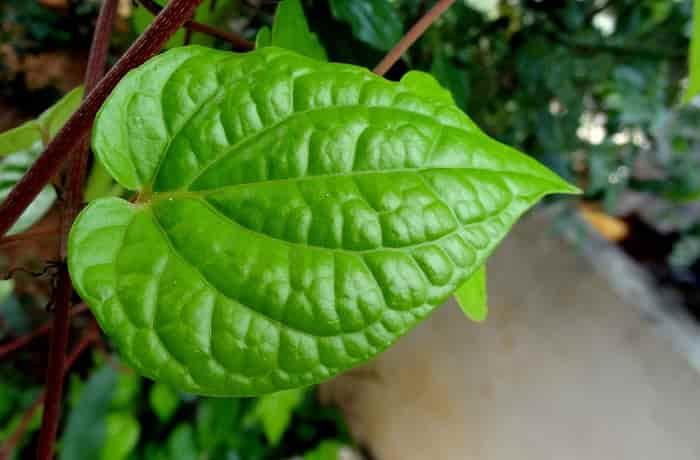 Efek samping daun sirih