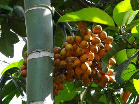 Manfaat buah pinang muda