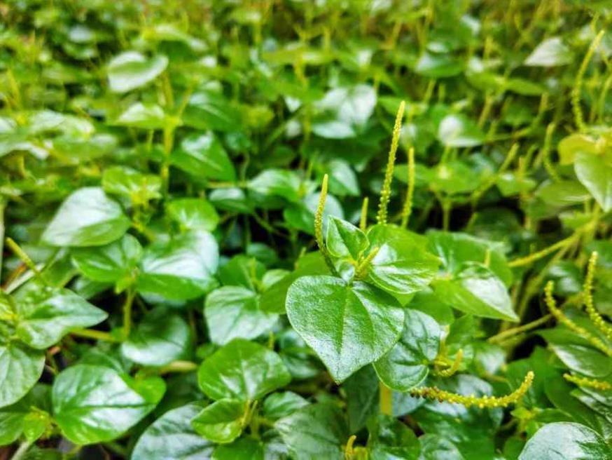 manfaat daun sirih cina