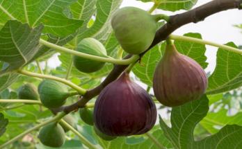 manfaat daun buah tin