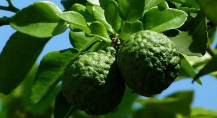 manfaat daun jeruk purut