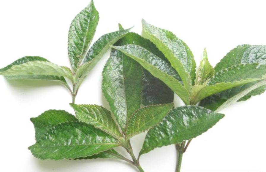 manfaat daun keci beling