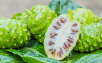 manfaat rebusan buah mengkudu