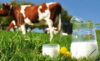 manfaat susu sapi murni