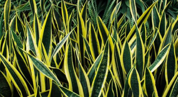 manfaat tanaman lidah mertua