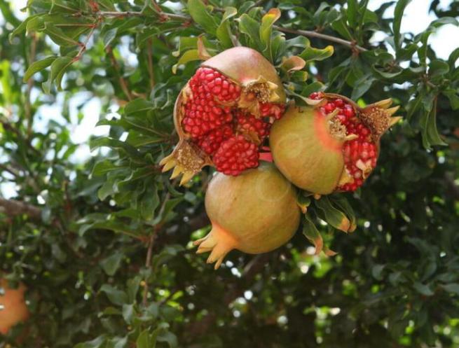 manfaat buah delima putih