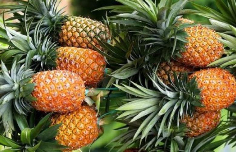 manfaat buah nanas madu