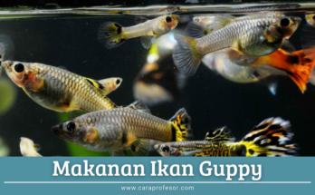 makanan ikan guppy